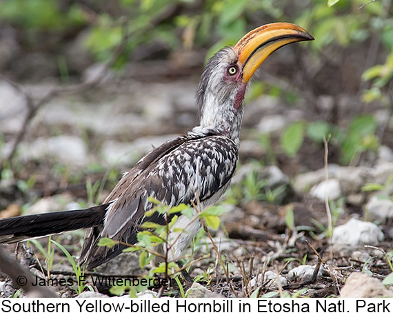 Southern Yellow-billed Hornbill - © James F Wittenberger and Exotic Birding LLC