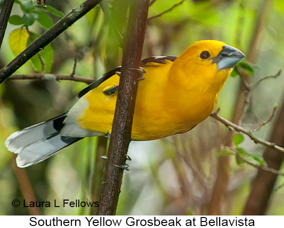 Golden Grosbeak - © Laura L Fellows and Exotic Birding Tours