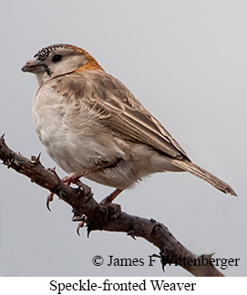 Speckle-fronted Weaver - © James F Wittenberger and Exotic Birding Tours