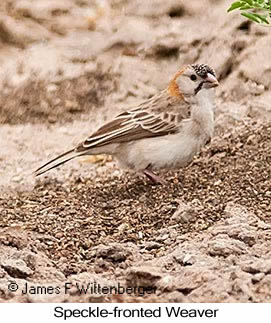 Speckle-fronted Weaver - © James F Wittenberger and Exotic Birding LLC