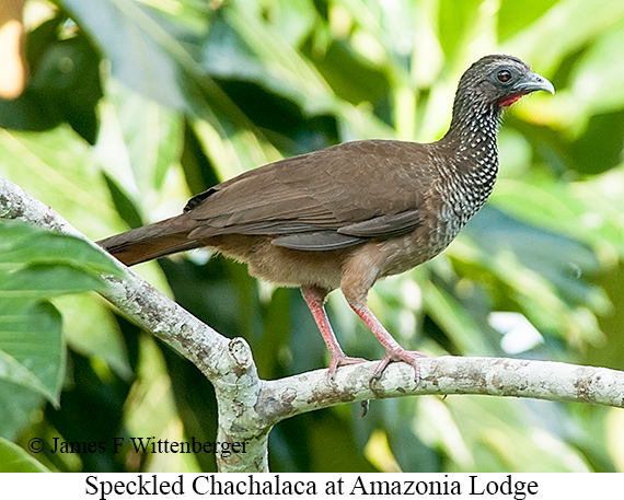 Speckled Chachalaca - © James F Wittenberger and Exotic Birding Tours