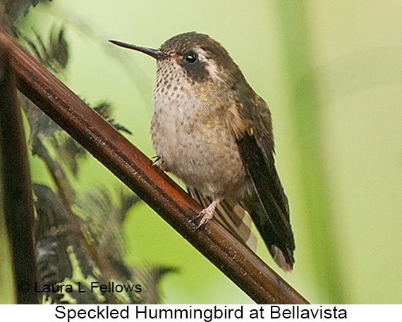 Speckled Hummingbird - © Laura L Fellows and Exotic Birding Tours