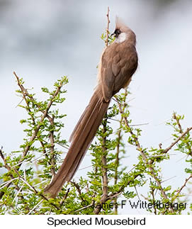 Speckled Mousebird - © James F Wittenberger and Exotic Birding LLC