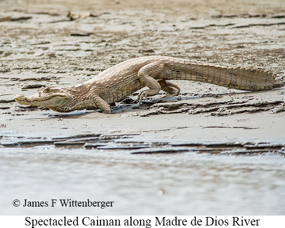 Spectacled Caiman - © James F Wittenberger and Exotic Birding Tours