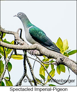Spectacled Imperial-Pigeon - © James F Wittenberger and Exotic Birding Tours