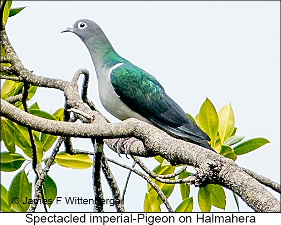 Spectacled Imperial-Pigeon - © James F Wittenberger and Exotic Birding LLC