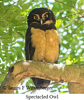 Spectacled Owl - © James F Wittenberger and Exotic Birding Tours