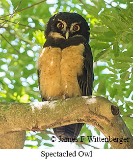 Spectacled Owl - © James F Wittenberger and Exotic Birding LLC