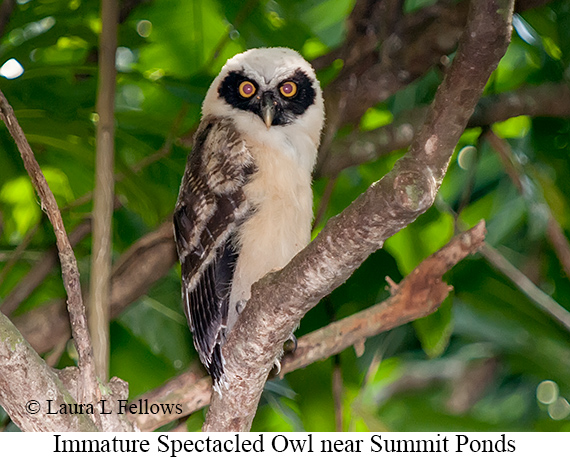 Spectacled Owl - © Laura L Fellows and Exotic Birding LLC