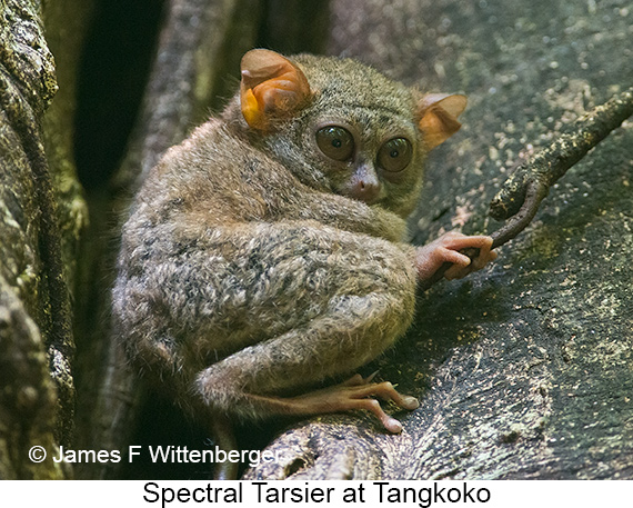 Spectral Tarsier - © James F Wittenberger and Exotic Birding Tours