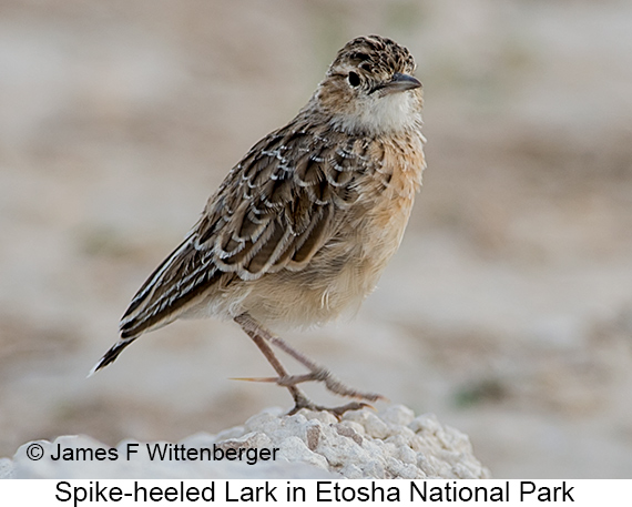 Spike-heeled Lark - © James F Wittenberger and Exotic Birding LLC