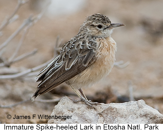 Spike-heeled Lark - © The Photographer and Exotic Birding LLC