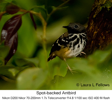 Spot-backed Antbird - © Laura L Fellows and Exotic Birding Tours