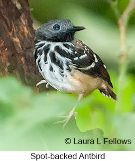 Spot-backed Antbird - © Laura L Fellows and Exotic Birding LLC