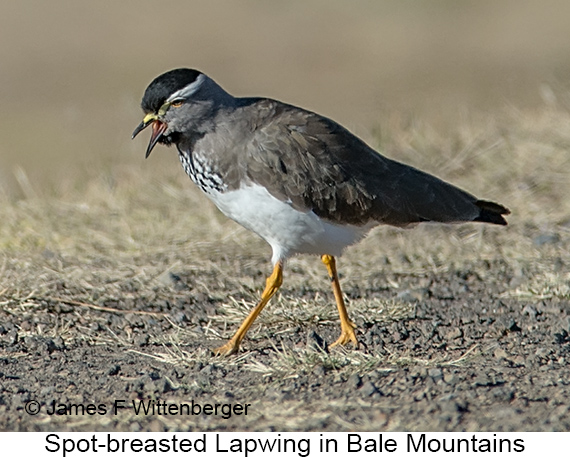 Spot-breasted Lapwing - © The Photographer and Exotic Birding LLC