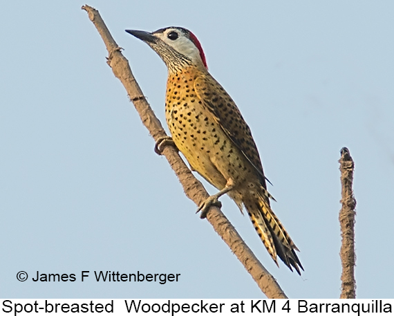 Spot-breasted Woodpecker - © James F Wittenberger and Exotic Birding LLC