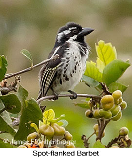 Spot-flanked Barbet - © James F Wittenberger and Exotic Birding LLC