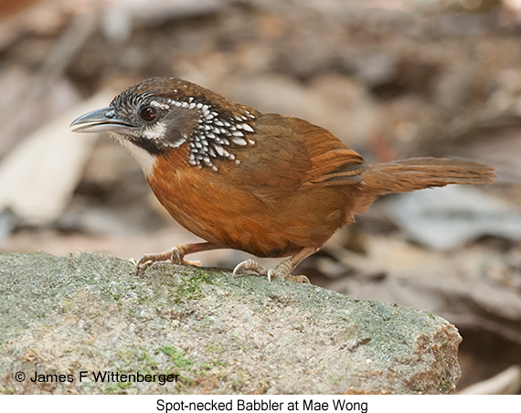 Spot-necked Babbler - © James F Wittenberger and Exotic Birding Tours