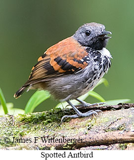 Spotted Antbird - © James F Wittenberger and Exotic Birding Tours