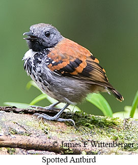 Spotted Antbird - © James F Wittenberger and Exotic Birding LLC