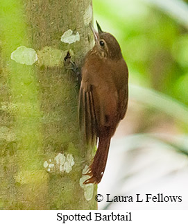 Spotted Barbtail - © Laura L Fellows and Exotic Birding LLC