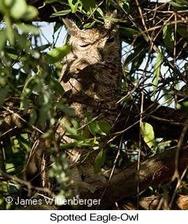 Spotted Eagle-Owl - © James F Wittenberger and Exotic Birding Tours