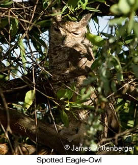 Spotted Eagle-Owl - © James F Wittenberger and Exotic Birding LLC