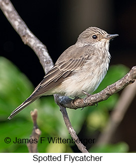 Spotted Flycatcher - © James F Wittenberger and Exotic Birding LLC