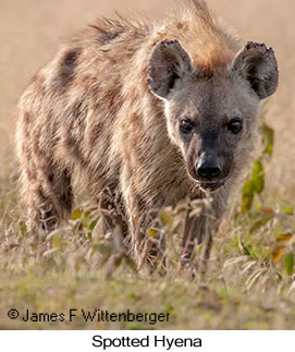 Spotted Hyena - © James F Wittenberger and Exotic Birding Tours