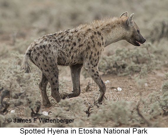 Spotted Hyena - © Laura L Fellows and Exotic Birding Tours