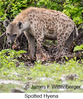 Spotted Hyena - © James F Wittenberger and Exotic Birding LLC