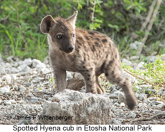 Spotted Hyena - © The Photographer and Exotic Birding LLC
