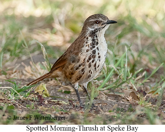 Spotted Morning-Thrush - © James F Wittenberger and Exotic Birding LLC
