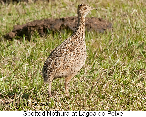 Spotted Nothura - © The Photographer and Exotic Birding LLC