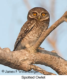Spotted Owlet - © James F Wittenberger and Exotic Birding LLC