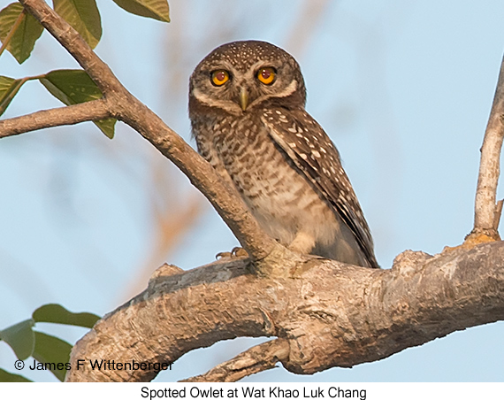 Spotted Owlet - © James F Wittenberger and Exotic Birding Tours