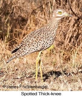 Spotted Thick-knee - © James F Wittenberger and Exotic Birding LLC