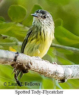 Spotted Tody-Flycatcher - © Laura L Fellows and Exotic Birding LLC