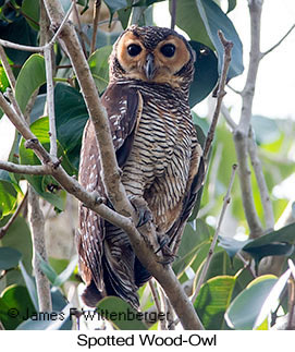Spotted Wood-Owl - © James F Wittenberger and Exotic Birding Tours