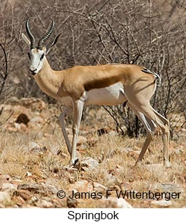 Springbok - © James F Wittenberger and Exotic Birding LLC