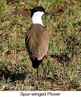 Spur-winged Lapwing - © Laura L Fellows and Exotic Birding LLC