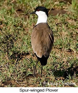 Spur-winged Lapwing - © Laura L Fellows and Exotic Birding Tours