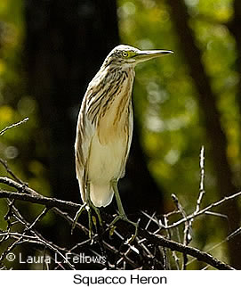 Squacco Heron - © Laura L Fellows and Exotic Birding LLC