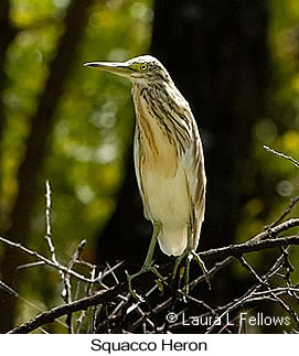 Squacco Heron - © Laura L Fellows and Exotic Birding Tours