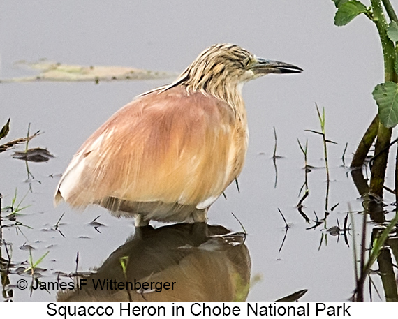 Squacco Heron - © The Photographer and Exotic Birding LLC