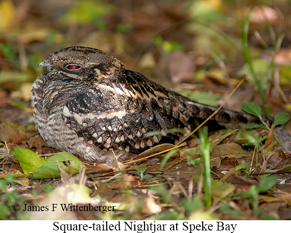 Square-tailed Nightjar - © The Photographer and Exotic Birding LLC
