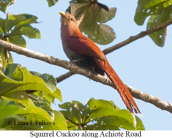 Squirrel Cuckoo - © Laura L Fellows and Exotic Birding LLC
