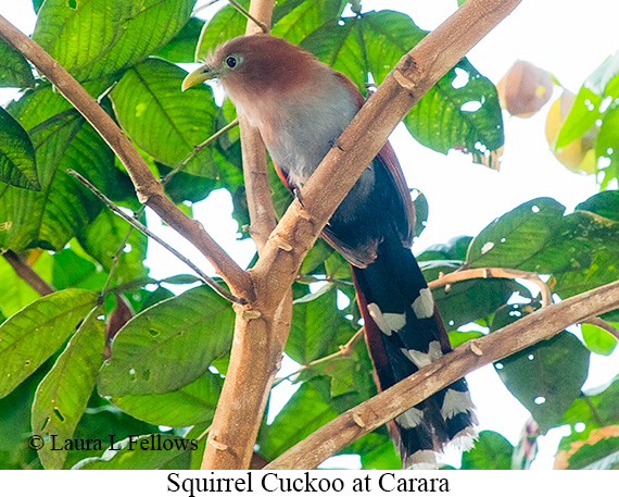 Squirrel Cuckoo - © Laura L Fellows and Exotic Birding Tours