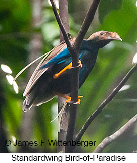 Standardwing Bird-of-Paradise - © James F Wittenberger and Exotic Birding Tours