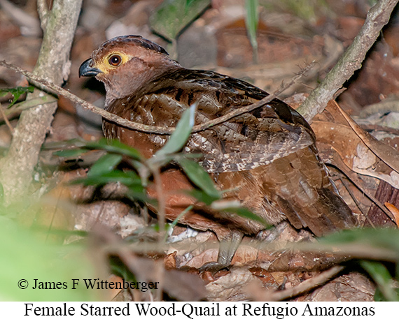 Starred Wood-Quail - © Laura L Fellows and Exotic Birding Tours